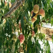 桃树苗信息品种晚熟桃树苗老品种批发商安徽桃树苗基地