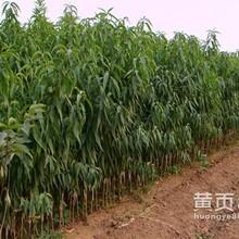 春季上市桃树苗品种,甘肃晚熟核心小桃树苗,及耐储存桃苗品种