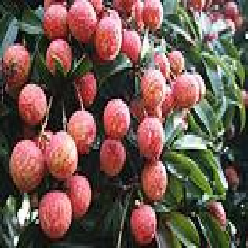 祥麟苹果基地是专业的海南热带水果批发商海口热带水果图片