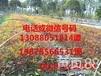 至好的南天竹价格怎么样重庆苗木种植